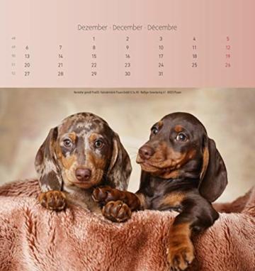 Dackel 2021 - Postkartenkalender 16x17 cm - Dachshunds - zum aufstellen oder aufhängen - Geschenk-Idee - Gadget - Alpha Edition - 11