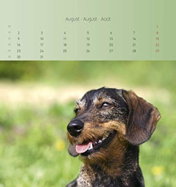 Dackel 2021 - Postkartenkalender 16x17 cm - Dachshunds - zum aufstellen oder aufhängen - Geschenk-Idee - Gadget - Alpha Edition - 12