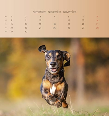 Dackel 2021 - Postkartenkalender 16x17 cm - Dachshunds - zum aufstellen oder aufhängen - Geschenk-Idee - Gadget - Alpha Edition - 13