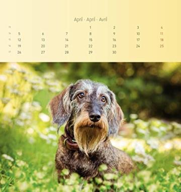 Dackel 2021 - Postkartenkalender 16x17 cm - Dachshunds - zum aufstellen oder aufhängen - Geschenk-Idee - Gadget - Alpha Edition - 3