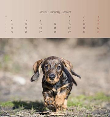 Dackel 2021 - Postkartenkalender 16x17 cm - Dachshunds - zum aufstellen oder aufhängen - Geschenk-Idee - Gadget - Alpha Edition - 4