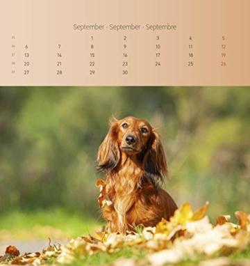 Dackel 2021 - Postkartenkalender 16x17 cm - Dachshunds - zum aufstellen oder aufhängen - Geschenk-Idee - Gadget - Alpha Edition - 6