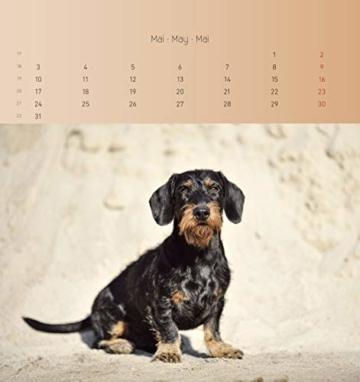 Dackel 2021 - Postkartenkalender 16x17 cm - Dachshunds - zum aufstellen oder aufhängen - Geschenk-Idee - Gadget - Alpha Edition - 7