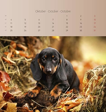Dackel 2021 - Postkartenkalender 16x17 cm - Dachshunds - zum aufstellen oder aufhängen - Geschenk-Idee - Gadget - Alpha Edition - 8