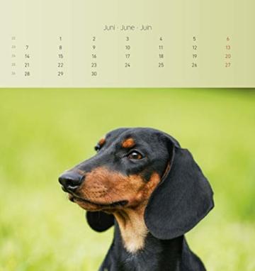 Dackel 2021 - Postkartenkalender 16x17 cm - Dachshunds - zum aufstellen oder aufhängen - Geschenk-Idee - Gadget - Alpha Edition - 9