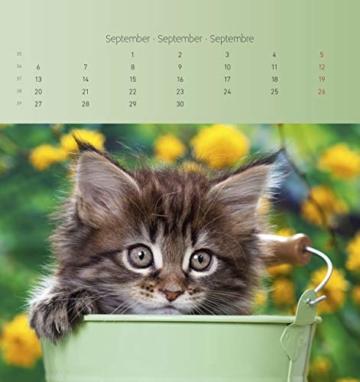 Katzen 2021 - Postkartenkalender 16x17 cm - Cats - zum aufstellen oder aufhängen - Geschenk-Idee - Gadget - Alpha Edition - 11